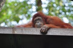 A sad orangutan Royalty Free Stock Photos