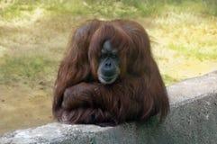 Sad orangutan Stock Images