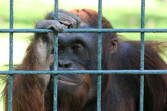 Sad orangutan behind the bars of a zoo Stock Images