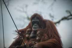 Sad orangutan with two children sits together. Pensive primate with closed eyes embraces two offsprings. Monkey care about offsprings Stock Images