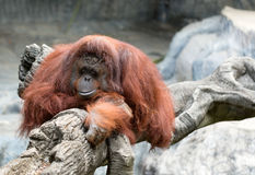 Orangutan in zoo Stock Photo