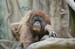 Sad orangutan in zoo Royalty Free Stock Image