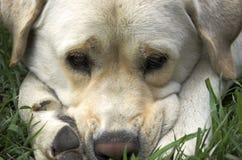 SAD oso Fotografering för Bildbyråer