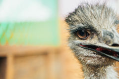 Sad ostrich Emu portrait of a short distance Stock Images