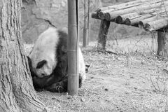 Sad panda Royalty Free Stock Photo
