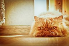 Sad cat. A sad, pensive cat lying on the floor and phlegmatically watching what is happening royalty free stock image