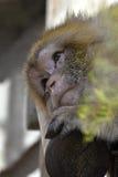 Sad pensive green monkey royalty free stock photography