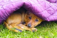 Sad pinscher puppy under purple blanket Royalty Free Stock Photos