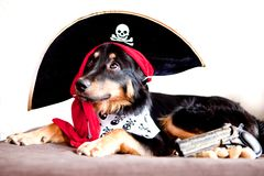 Sad pirate puppy Royalty Free Stock Image