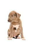 Sad pit bull puppy Royalty Free Stock Image