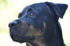 Sad and plaintive dog rottweiler Stock Image