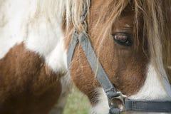 Sad pony Royalty Free Stock Photo