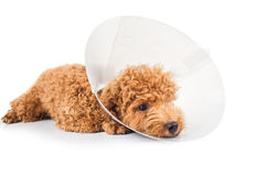 Sad poodle dog wearing protective cone collar on her neck Royalty Free Stock Photo