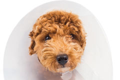 Sad poodle dog wearing protective cone collar on her neck Stock Image