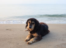 Sad and poor dog lying on sea beach with sorrow face Royalty Free Stock Photography