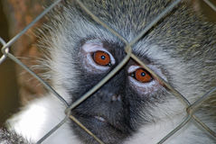 Sad Primate. A sad looking primate, looking from behind a cage Stock Photo