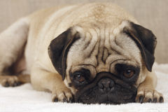 Sad Pug. Pug is sad. His dark brown eyes consumed with sadness and fear of what is head of him Royalty Free Stock Image