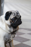 Sad pug Royalty Free Stock Image