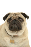 Sad pug dog Royalty Free Stock Photos