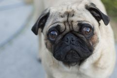 Sad pug dog. Portrait of a sad pug dog with large expressive eyes and a wrinkled face Stock Images