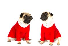 Very cute sitting pug dog in a red New Year dress. Looking with sad eyes. Very cute sitting pug dog in red New Year dress. Looking with sad eyes stock photography