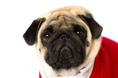 Very cute sitting pug dog in a red New Year dress. Looking with sad eyes. Very cute sitting pug dog in red New Year dress. Looking with sad eyes stock photos