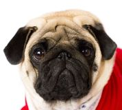Very cute sitting pug dog in a red New Year dress. Looking with sad eyes. Very cute sitting pug dog in red New Year dress. Looking with sad eyes stock images
