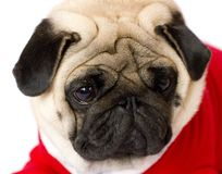 Very cute sitting pug dog in a red New Year dress. Looking with sad eyes. Very cute sitting pug dog in red New Year dress. Looking with sad eyes royalty free stock photography