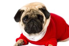 Very cute sitting pug dog in a red New Year dress. Looking with sad eyes. Very cute sitting pug dog in red New Year dress. Looking with sad eyes royalty free stock photos