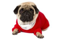 Very cute sitting pug dog in a red New Year dress. Looking with sad eyes. Very cute sitting pug dog in red New Year dress. Looking with sad eyes stock photo