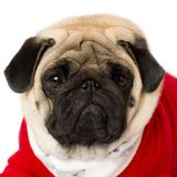 Very cute sitting pug dog in a red New Year dress. Looking with sad eyes. Very cute sitting pug dog in red New Year dress. Looking with sad eyes royalty free stock images