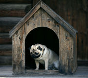 Sad pug dog in the dog house. Funny pug dog in the dog house Royalty Free Stock Images