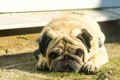 Sad pug dog lies stock photos