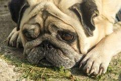 Sad pug dog lies stock image