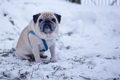 Sad pug dog sitting alone in the snow. stock photography