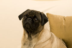 Sad Pug Face. Sitting Against Pillow Stock Photography