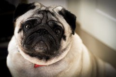 Sad pug face Royalty Free Stock Images