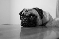 Sad Pug Face Royalty Free Stock Image