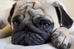 Sad pug laying on the bed Royalty Free Stock Photo