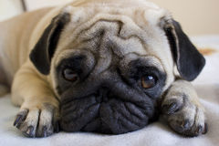 Sad pug laying on the bed Stock Photos