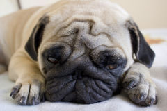 Sad pug laying on the bed Stock Photo