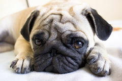 Sad pug laying on the bed Royalty Free Stock Photos