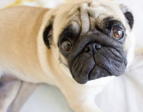 Sad pug laying on the bed Royalty Free Stock Images