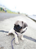 Sad pug puppy Stock Images