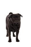Sad pug puppy. A sad looking pug puppy Royalty Free Stock Images