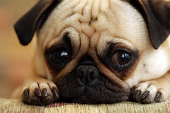 Sad Pug Puppy. Closeup of a Pug puppy laying down and staring at the camera with sad eyes Stock Photo