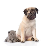 Sad pug puppy with sleeping scottish kitten. isolated on white Royalty Free Stock Photo