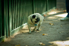 Sad pug in zoo. Sad pug looks at animals in a cage, zoo in park Peterhof Stock Image