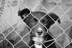 Sad pup in a pen. Homeless animals series. Black pup sitting looking through the wires of her pen. Black and white image stock photo