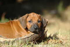 Sad puppy. Young red wheaten lazy little beautiful Rhodesian Ridgeback hound puppy dog head portrait with sad expression in the pretty face enjoying the sun Royalty Free Stock Image